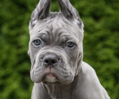 Grey male 2